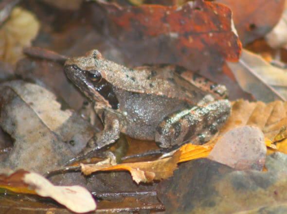 Foto di una rana di Lataste